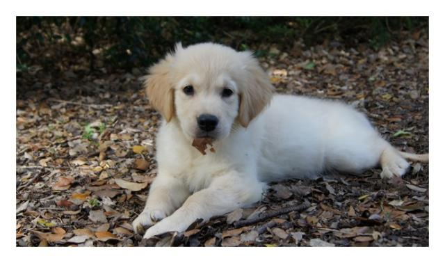 image Chiots Golden Retriever Disponibles et à Réserver