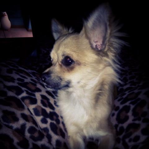 image Chihuahua male pour saillie