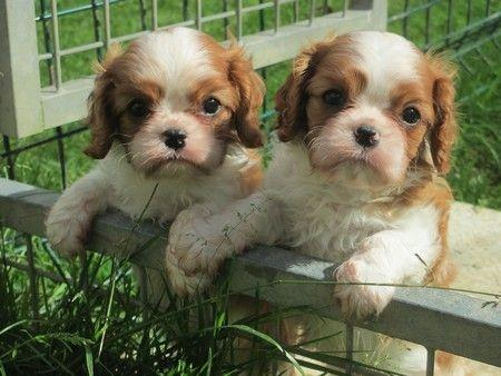 image Magnifiques Chiots cavalier king charles LOF