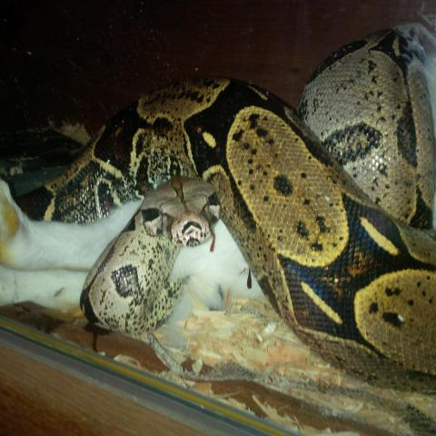 image Boa constrictor redtail
